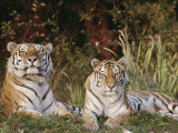 A Portrait of Two Captive Siberian Tigers Stampa fotografica di Hornocker, Dr. Maurice G.