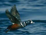 Harlequin Duck in Flight Photographic Print by Bates Littlehales