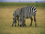 Zebras Graze in Amboseli National Reserve Photographic Print by Bobby Model