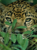 A Jaguar Hides in the Vegetation Photographie par Steve Winter