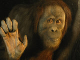 Orangutan (Pongo Pygmaeus) Photographic Print by Richard Nowitz