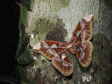 An Atlas Moth Laying Eggs on a Tree Trunk in the Rain Forest Photographic Print by Mattias Klum