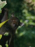 A Captive Juvenile Black Flying Fox Looks Straight at the Camera Impressão fotográfica por Nicole Duplaix