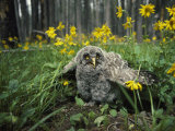 Great Gray Owlet on the Ground Amid Arnica and Grasses Fotografie-Druck von Michael S. Quinton