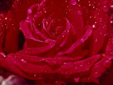 Close up of a Rose Photographic Print by James L. Stanfield