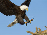 American Bald Eagle Comes in for a Landing on a Dead Tree Branch Photographic Print by Paul Nicklen