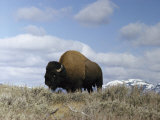 A Magnificent American Bison Bull under a Soft Blue Sky Photographic Print by Dr. Maurice G. Hornocker