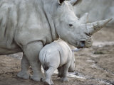 A Large White Rhinoceros and its Young Fotografisk tryk af Kenneth Garrett