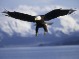 Bald Eagle Descends along the Shores of Southeast Alaska Photographic Print by Paul Nicklen