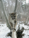 A Mountain Lion Walks Along a Tree Branch in Winter Stampa fotografica di Hornocker, Dr. Maurice G.