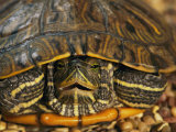 Close Portrait of a Turtle Photographic Print by Darlyne A. Murawski