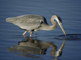 A Great Blue Heron Wades on Stilt-Like Legs While Foraging for Food Photographic Print by Bates Littlehales