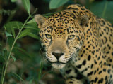 A Jaguar Pauses in the Foliage Photographic Print by Steve Winter