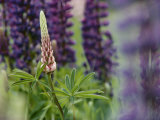 Close View of a Wild Lupine Photographic Print by Phil Schermeister