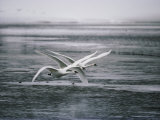 Trumpeter Swans Fly Low over a River Photographic Print by Michael S. Quinton