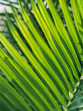 Close View of Palm Fronds Photographic Print by Steve Raymer