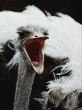 Close View of an Ostrich Photographic Print by Kenneth Garrett