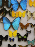 Display of Butterfly Samples at the National Biodiversity Institute Fotografie-Druck von Steve Winter