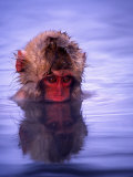 Baby Japanese Macaque (Snow Monkey) Bathing in Natural Hot Springs Photographic Print by Roy Toft