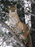 Beautiful Shot of a Mountain Lion in a Snowy Tree Fotografiskt tryck av Dr. Maurice G. Hornocker