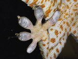 Close-up of the Toe-Pads of a Tokay Gecko Photographic Print by Darlyne A. Murawski