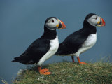Pair of Atlantic Puffins Perch on a Grass-Covered Cliff Photographie par Sisse Brimberg
