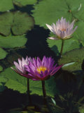 Fragrant Water Lily Flowers Photographic Print by Richard Nowitz