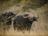 Two Cape Buffalo on the Veldt Photographic Print by Dr. Maurice G. Hornocker