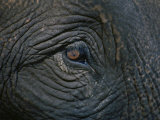 Close up of the Eye of an Asian Elephant Photographic Print by Jodi Cobb