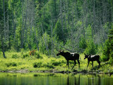 A Natural Salt Lick Lures Moose to the Shores of Hidden Lake Photographic Print by Phil Schermeister
