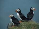 Trio of Atlantic Puffins Perch on a Grass-Covered Cliff Photographie par Sisse Brimberg