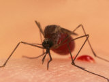 A Biting Female Mosquito with Her Abdomen Filled with a Blood Meal Photographic Print by Darlyne A. Murawski