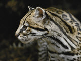 An Ocelot Photographic Print by Jason Edwards