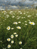 Field Filled with Daisies and Tall Grasses