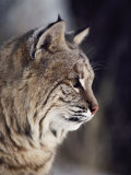Close-up of a Bobcat Photographic Print by Dr. Maurice G. Hornocker