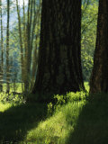 Pine Tree Trunks in Woodland Meadow Photographic Print by Marc Moritsch