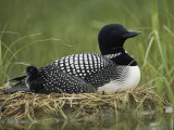 Common Loon Sits on Her Marshy Nest, Photographic Print
