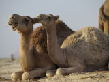 Two Dromedary Camels Lámina fotográfica por James L. Stanfield