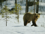 A Brown Bear Walks over the Snow Photographic Print by Mattias Klum