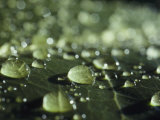 A Close-up of Water Droplets on a Leaf Photographic Print by Todd Gipstein