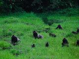 Western Lowland Gorillas Foraging in the Bai Stampa fotografica di Nichols, Michael