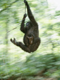 A Gorilla Plays at the Mpassa Reserve Photographic Print by Michael Nichols