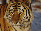 A Close View of a Siberian Tiger Photographic Print by Dr. Maurice G. Hornocker