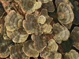 Close View of Turkey-Tail Fungi in Estabrook Woods Photographic Print by Darlyne A. Murawski