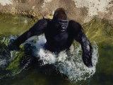 Lowland Gorilla Photographic Print by Bates Littlehales