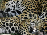 A Jaguar and Cub Relax Photographic Print by Steve Winter