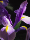 Close View of a Domesticated Iris Photographic Print by Marc Moritsch