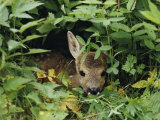 A Juvenile Roe Deer Looks out from a Nest of Green Plants Fotografisk tryk af Mattias Klum