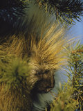 The Head of a Porcupine Seen Close Up Photographic Print by Michael S. Quinton