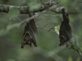 Fruit Bat Hangs Upside down from a Tree in Loango National Park Photographic Print by Michael Nichols